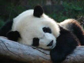 El oso Tontín soñaba.